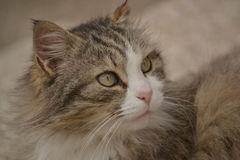 Gray Maine Coon cat Stock Image