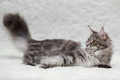 Gray maine coon cat posing on white background Royalty Free Stock Images