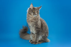 Gray Maine Coon sits on a blue background. Stock Image