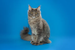 Gray Maine Coon sits on a blue background. Stock Photos