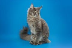 Gray Maine Coon sitter på en blå bakgrund Fotografering för Bildbyråer