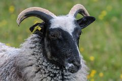 Gray male sheep with black head and curved horns. Closeup portrait of a male gray sheep or ram with black face and curved striped horns with a green blur Stock Photography