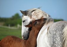 Free Gray Mare And Foal On A Pasture Stock Images - 104017814