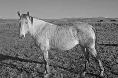 Gray Mare en noir et blanc photos stock