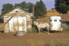 Gray mare in front of barn with horse trailer, WA Stock Photography