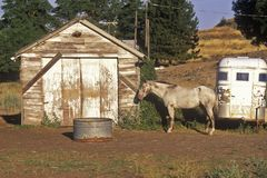Gray mare in front of barn with horse trailer, WA Stock Photos