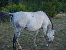 Gray Mare Royalty Free Stock Photo