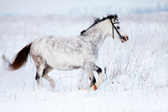 The gray mare runs in the field. Royalty Free Stock Image