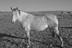 Gray Mare in Zwart-wit Stock Foto's