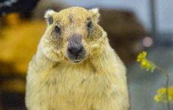 A gray marmot in the room Royalty Free Stock Photos