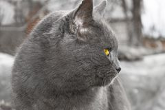 Gray Mature cat outdoors Stock Photography