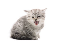 Gray mewing kitty Royalty Free Stock Images