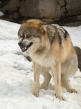 Gray Mexican Wolf Crouches Submissively Stock Photography