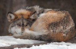 Gray Mexican Wolf curled up on snow covered rock Royalty Free Stock Image