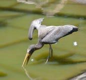 Gray Milky Stork Foto de archivo libre de regalías
