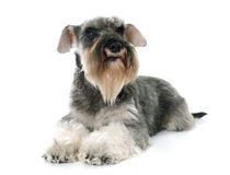 Gray miniature schnauzer. In front of white background stock photos