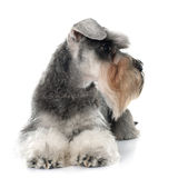 Gray miniature schnauzer stock images