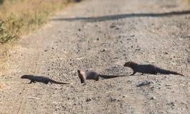 Gray Mongoose Family op het spoor royalty-vrije stock afbeelding