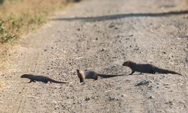 Gray Mongoose Family på spåret Royaltyfri Bild