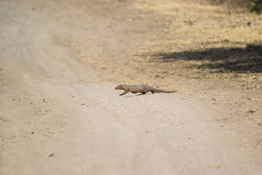 Gray Mongoose Stock Image