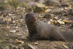 Gray Mongoose, Ranthambhore Tiger Reserve, Rajasthan, Indien stockfotos