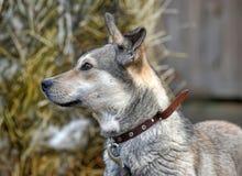 Gray mongrel dog Stock Image