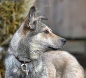 Gray mongrel dog Royalty Free Stock Photography