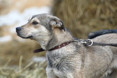 Gray mongrel dog Stock Images