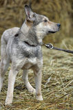 Gray mongrel dog Royalty Free Stock Images
