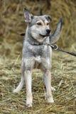 Gray mongrel dog Royalty Free Stock Photos