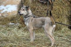 Gray mongrel dog Royalty Free Stock Image