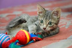 Gray mongrel kitten with green eyes playing with a toy royalty free stock image