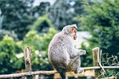 Gray Monkey on Brown Wooden Fence Stock Images
