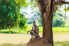 Gray monkey in the jungle sitting under a tree royalty free stock photo