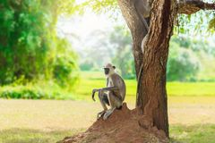 Gray monkey in the jungle sitting under a tree royalty free stock images