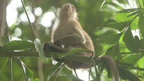 Gray Monkey Sitting su un ramo di bambù stock footage
