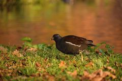 Gray moorhen on the bank of the lake... stock images