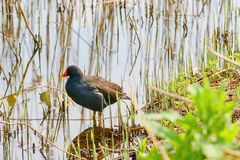 Gray moorhen at a reservoir. stock photo