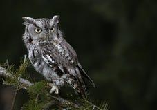 Gray Morph Eastern Screech Owl Imagem de Stock Royalty Free