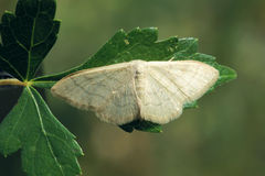 Gray moth Stock Photography