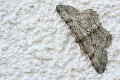 Gray moth Stock Image