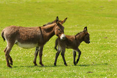 Gray mother and baby donkey Stock Photography