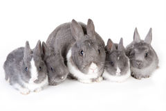 Gray mother rabbit with four bunnies Royalty Free Stock Images