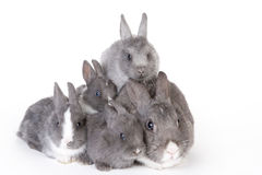 Gray mother rabbit with four bunnies Stock Photography
