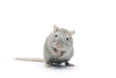 Gray Mouse. Nice gray mouse standing on white background Royalty Free Stock Photo
