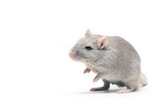 Gray Mouse Stock Photo