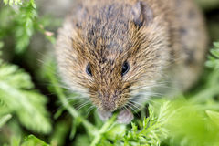 Gray mouse Royalty Free Stock Photography