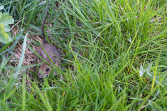 Gray mouse in the grass Royalty Free Stock Photos