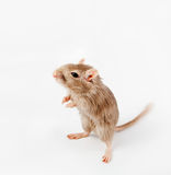 Gray mouse isolated. (Meriones unguiculatus royalty free stock photography