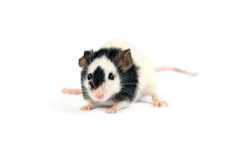 Gray mouse isolated on white background Royalty Free Stock Images